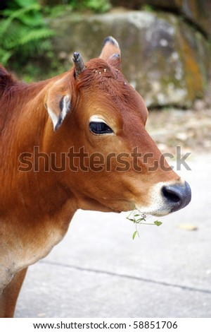 Close-up of a cow - stock photo