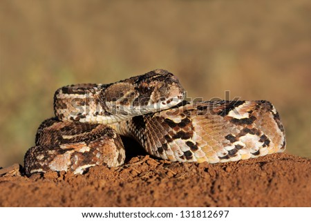 Close-up of a curled puff adder (Bitis arietans) snake ready to strike - stock photo