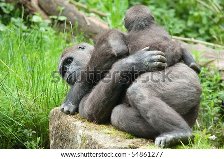 close-up of a cute baby gorilla and mother - stock photo