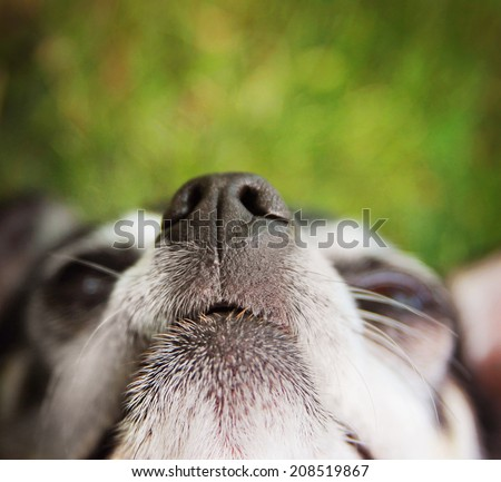 close up of a cute chihuahua nose while he is laying in the grass - stock photo