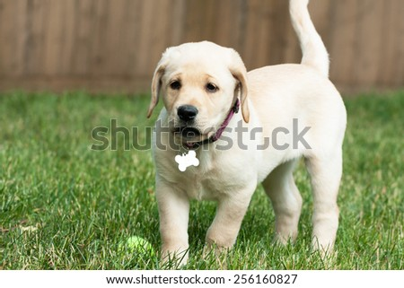 Close up of a cute yellow labrador puppy laying in the grass outdoors. Shallow depth of field. - stock photo