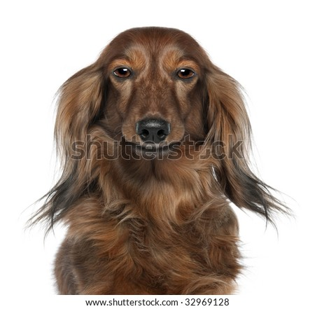 Close-up of a Dachshund's head  looking at the camera (7 years old) in front of a white background. (Digital enhancement) - stock photo