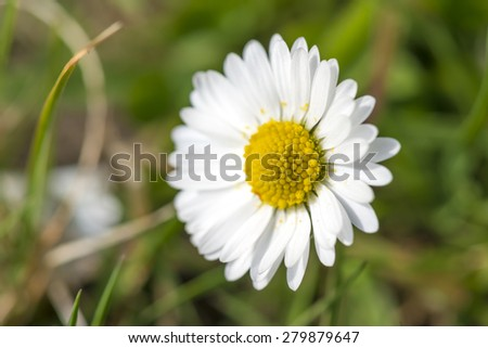 close up of a daisy (Bellis perennis) on green grass in spring - stock photo