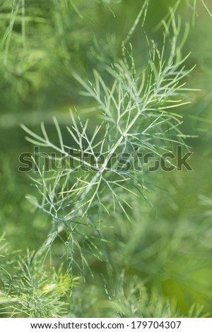 Close-up of a dill twig. Shallow dof - stock photo