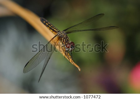 Close-up of a dragonfly resting on the end of a twig. - stock photo