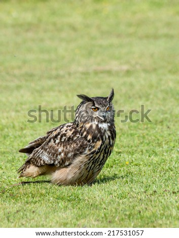 Close up of a European Eagle Owl on the ground - stock photo