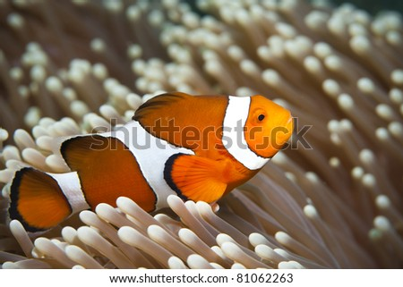 Close-up of a False-Clown Anemonefish (Amphiprion ocellaris)  at Bali, Indonesia - stock photo