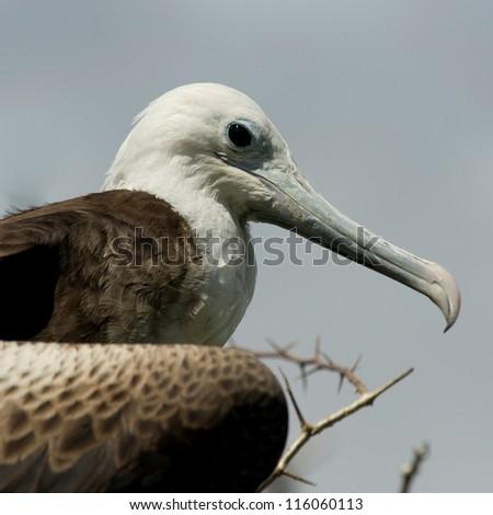 Close-up of a female Great frigatebird (Fregata minor), North Seymour Island, Galapagos Islands, Ecuador - stock photo