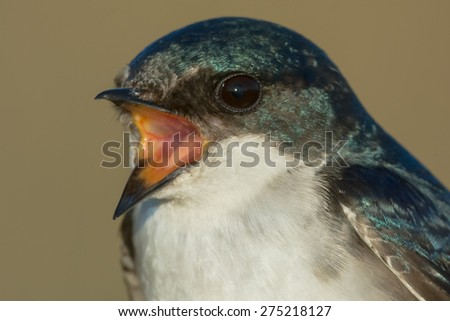 Close up of a female Tree Swallow. - stock photo