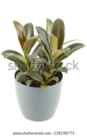 Close-up of a ficus in flowerpot.  Plant in a pot. Isolated - stock photo