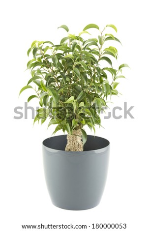 Close-up of a ficus tree in flowerpot.  Plant in a pot. Isolated on white background - stock photo