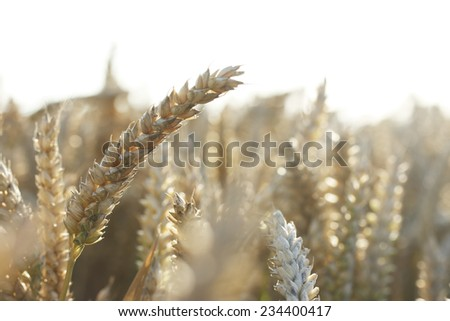 Close-up of a field of wheat - stock photo