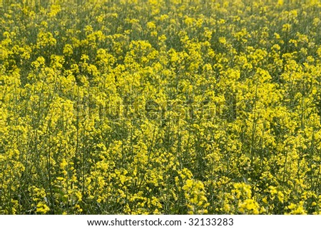 Close up of a field of wild mustard flowers. - stock photo