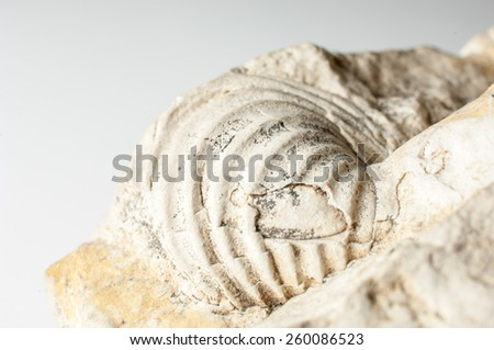 Close up of a fossilized shell embedded in the rock. - stock photo