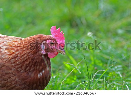 close up of a free range hen in the meadow - stock photo