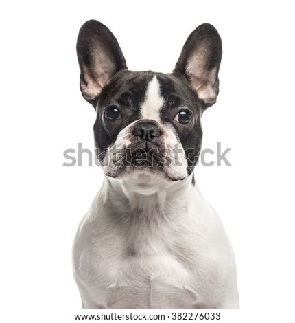 Close up of a French Bulldog looking at the camera, isolated on white (1 year old) - stock photo