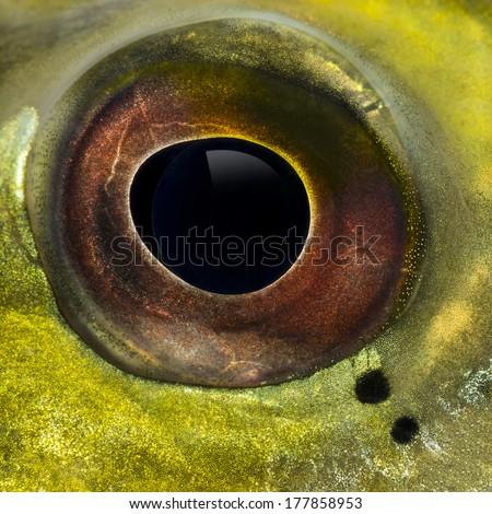 Close-up of a fresh water aquarium fish's eye - stock photo