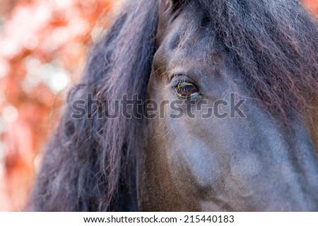 Close up of a Friesian / Frisian stallion horse eye in autumn fall - stock photo
