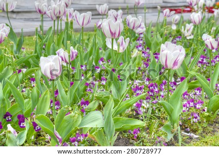 Close up of a garden withwhite and pink tulips - stock photo