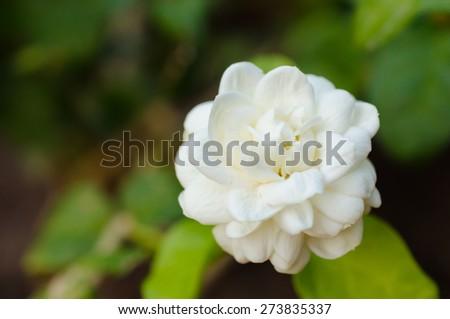 Close up of a Gardenia jasminoides flower. - stock photo