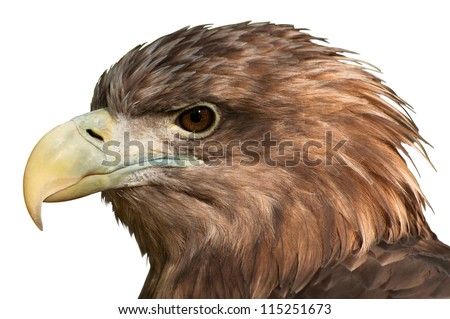 Close-Up of a golden eagle head isolated on white - stock photo