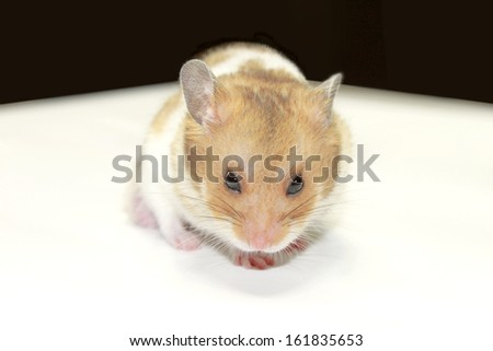Close-up of a golden hamster - stock photo