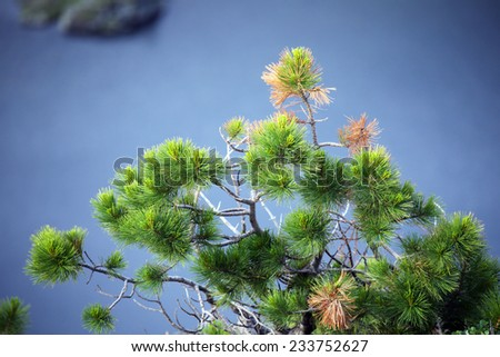 close-up of a green cedar tree branch on a background of a mountain lake in the Western Sayan summer - stock photo
