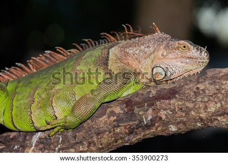 Close up of a green iguana - stock photo