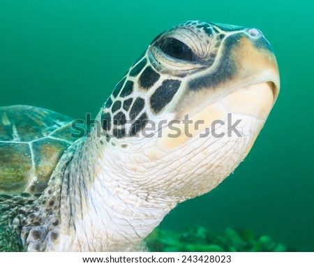 Close up of a Green Turtle head in dark, green water - stock photo