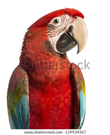 Close-up of a Green-winged Macaw, Ara chloropterus, 1 year old, in front of white background - stock photo