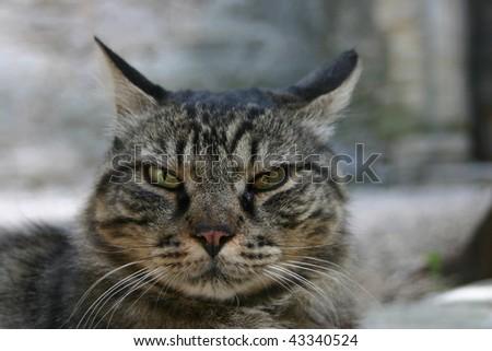 close up of a grey cat - stock photo