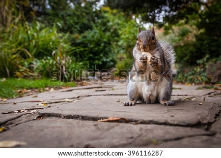 Close up of a grey squirrel eating a nut - stock photo