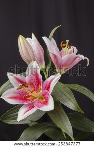 Close up of a group of four Oriental Lily's showing off their magnificent colors. - stock photo