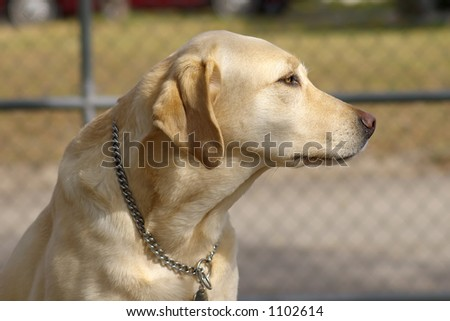 Close up of a guide dog - stock photo