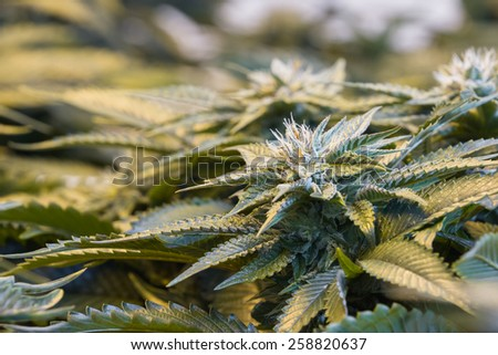 close up of a healthy marijuana plant with crystalline structures in the leafs and buds - stock photo