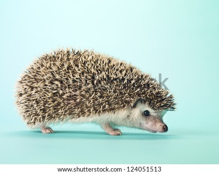 Close-up of a hedgehog isolated on turquoise background. - stock photo