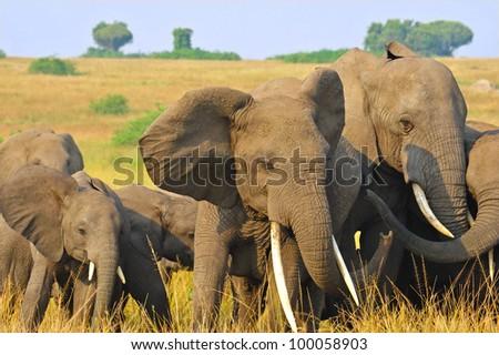 Close-up of a herd of African Elephants in Queen Elizabeth National Park, Uganda - stock photo