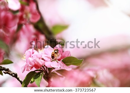 Close up of a honey bee feeding from a crab apple tree blossom with pollen packed on her legs. Selective focus with extreme shallow depth of field.   - stock photo