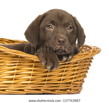 Close-up of a Labrador Retriever Puppy lying down in wicker basket, 2 months old, isolated on white - stock photo