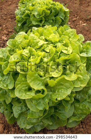 Close-up of a large lettuce, that grows in the brown soil of a vegetable bed.  - stock photo