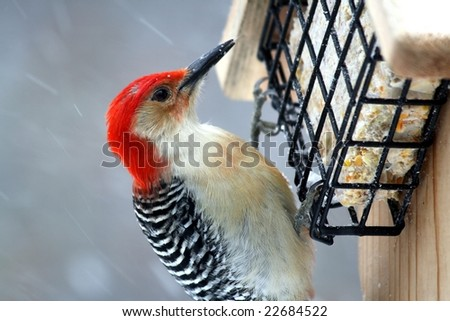 close up of a large red headed woodpecker eating at a suet feeder during a snowstorm - stock photo