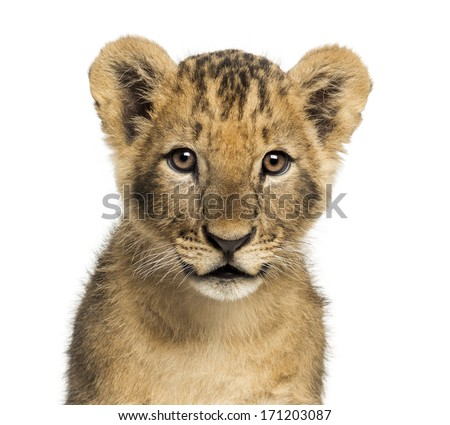Close-up of a Lion cub looking at the camera, 10 weeks old, isolated on white - stock photo