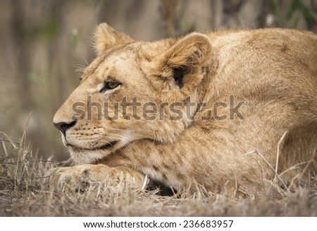 Close-up of a lion cub, Masai Mara National Reserver, Kenya, East Africa - stock photo