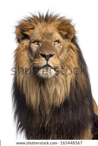 Close-up of a Lion looking up, Panthera Leo, 10 years old, isolated on white - stock photo