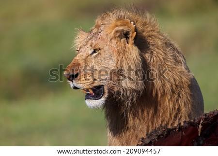 Close up of a Lion of Marsh Pride with his Buffalo prey in Masai Mara, Kenya - stock photo