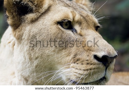 Close-up of a lioness' head - stock photo
