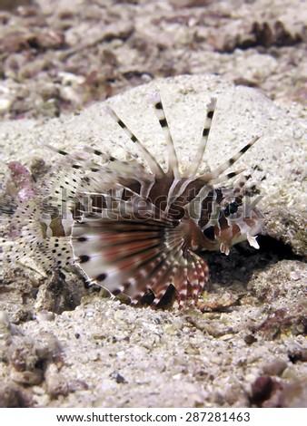 Close-up of a Lionfish (Pterois volitans).  - stock photo