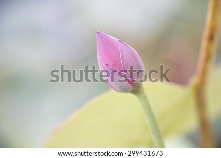 close up of a lotus flower bud - stock photo