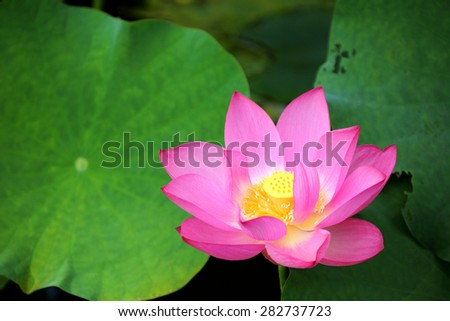 Close-up of a lovely lotus flower blooming among leaves - stock photo