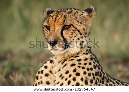 Close up of a majestic cheetah male - stock photo